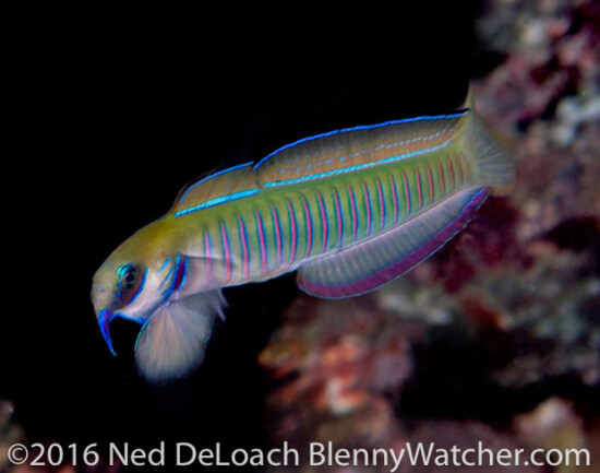 Zebra Dartfish displaying