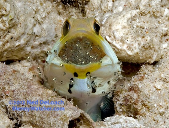 Yellowhead Jawfish releases hatching eggs ©2012 Ned DeLoach