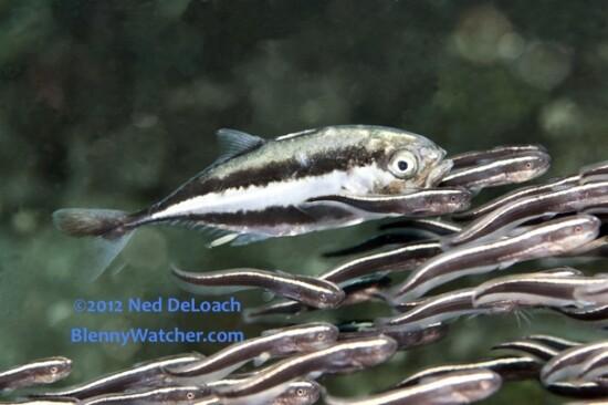 Striped Catfish, Plotosus lineatus, Bluespotted Trevally, Caranx bucculentus ©2012 Ned DeLoach