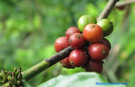 Coffee cherries Kopi Luwak
