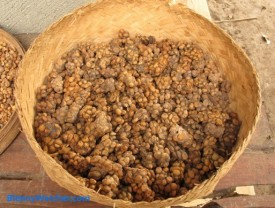 Kopi Luwak Basket of scat