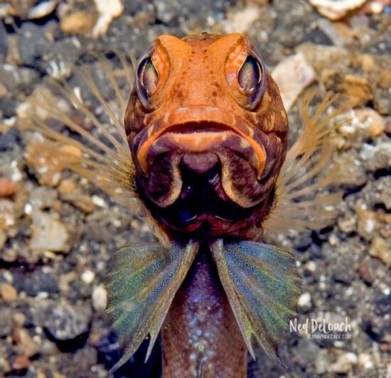 Solar Jawfish, Lembeh Strait, Indonesia