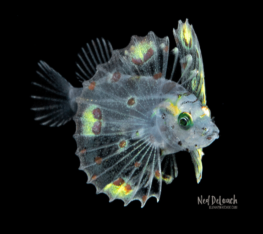 photo of an unidentified larval lionfish