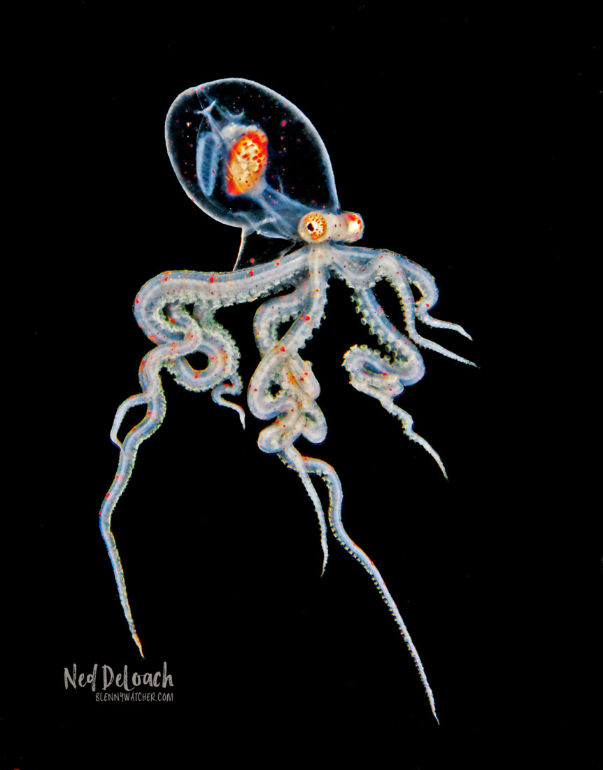 photo of a larval Wunderpus octopus