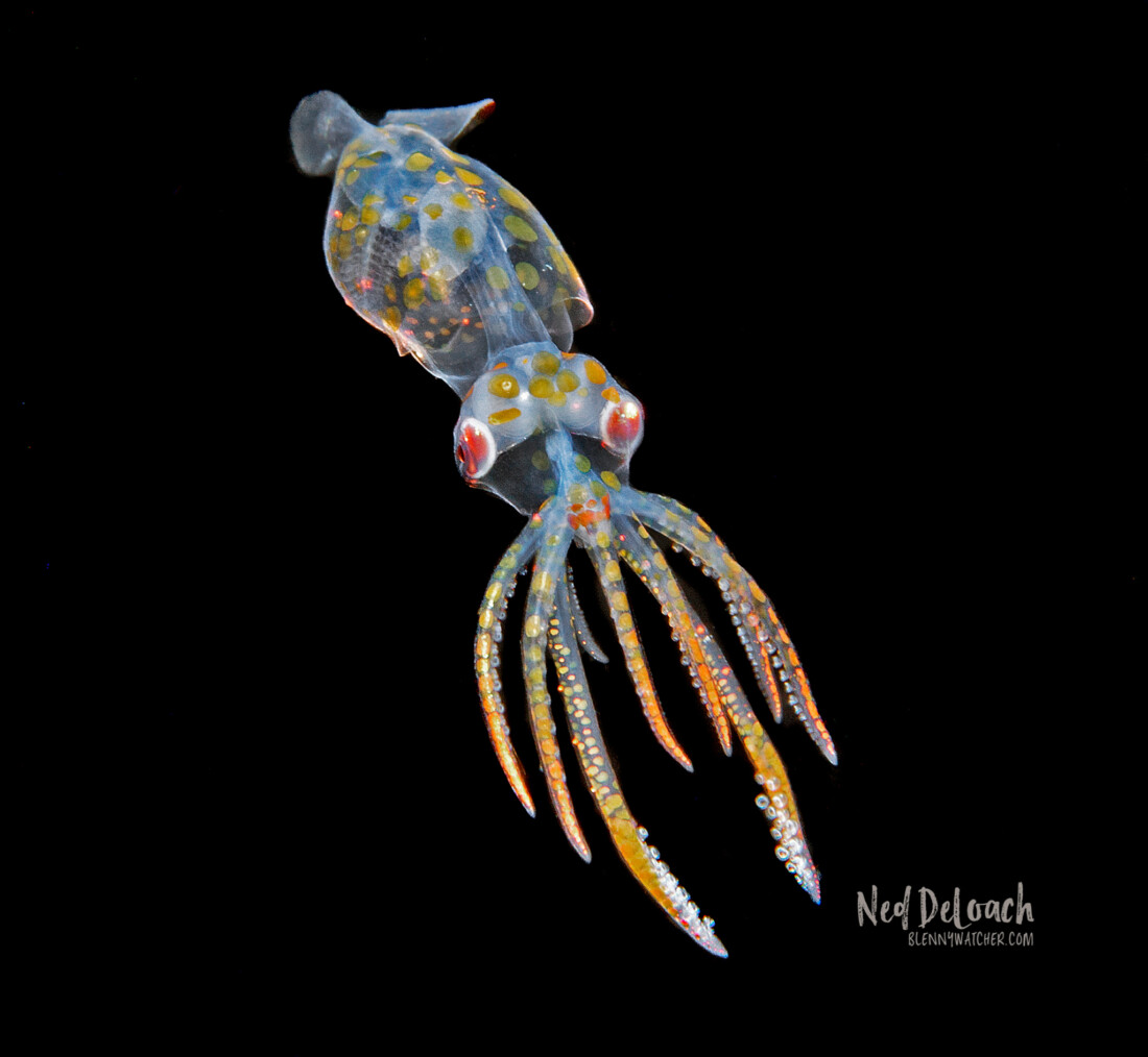 photo of a tiny squid