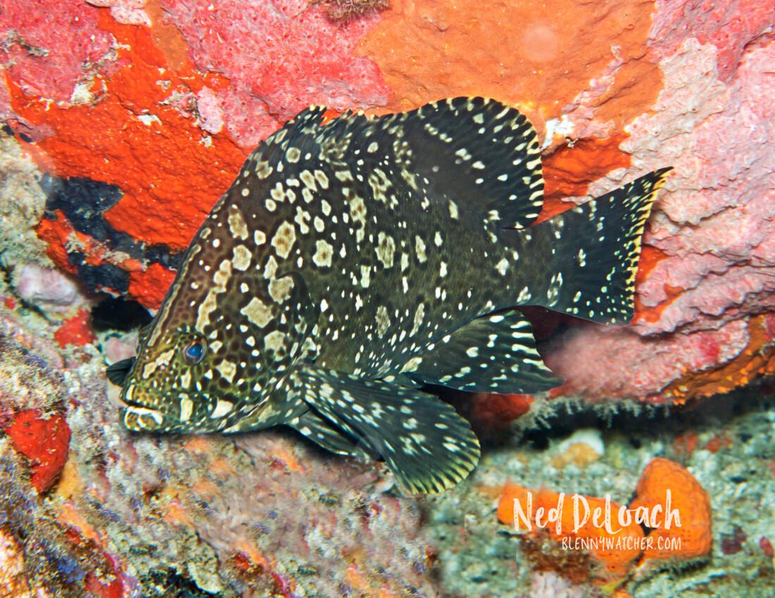 Marbled Grouper, Dermatolepis inermis