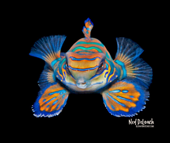 Mandarinfish, Pantar, Indonesia