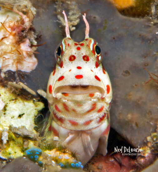 Redspotted Blenny, Raja Ampat, Indonesia