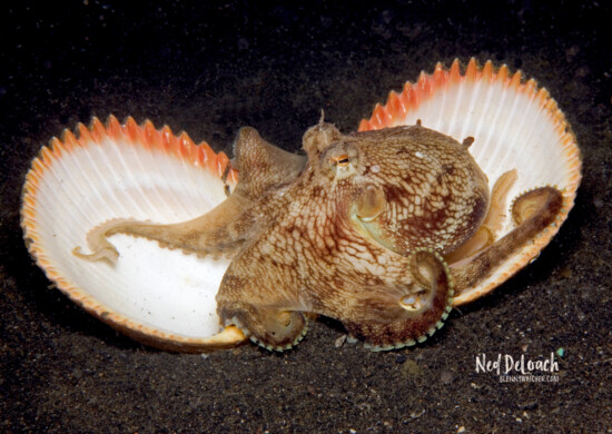 Coconut Octopus, 8 inches, Lembeh Strait Indonesia