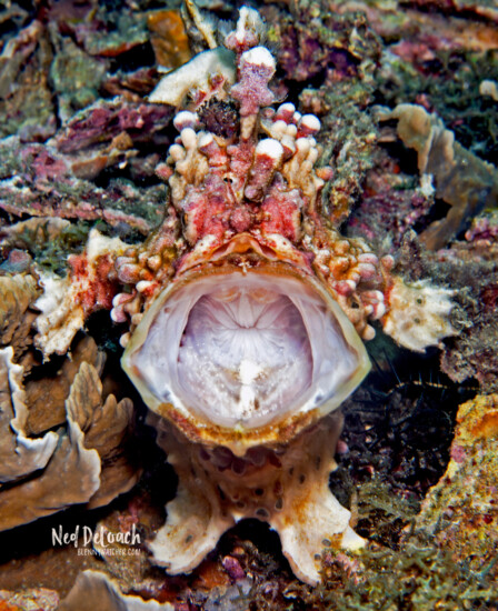 Warty Frogfish, Lembeh Strait, Indonesia