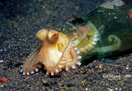 juvenile Coconut Octopus using beer bottle as home, one inch, Lembeh Strait Indonesia