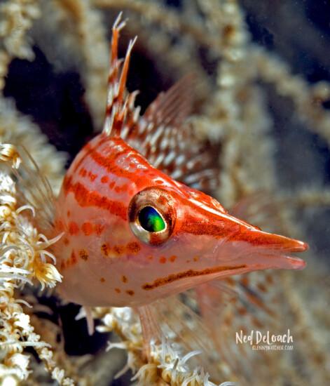 Longnose Hawkfish, Halmahera, Indonesia