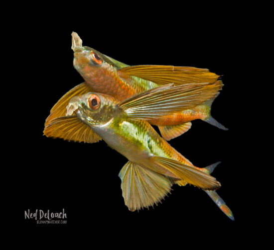 Pharao Flyingfish, 2 inches, Ceram, Indonesia