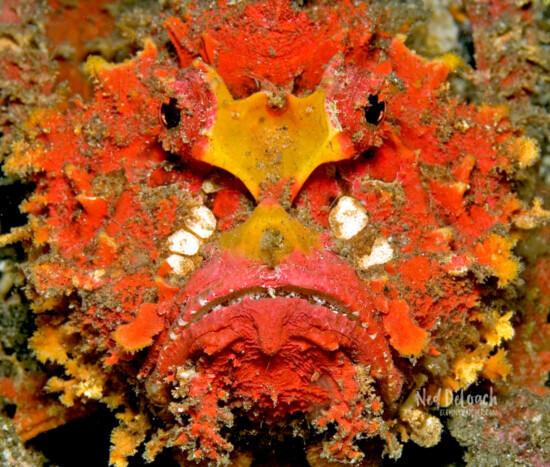 Spiny Devilfish variation Lembeh Strait, Indonesia
