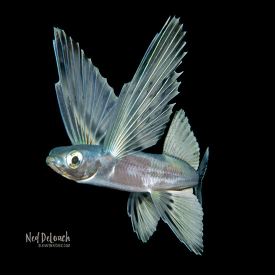 Flyingfish adult, 6 inches, West Palm, Florida
