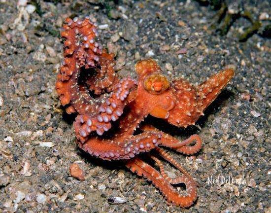 dancing Starry Night Octopus ,1 foot, Lembeh Strait, Indonesia