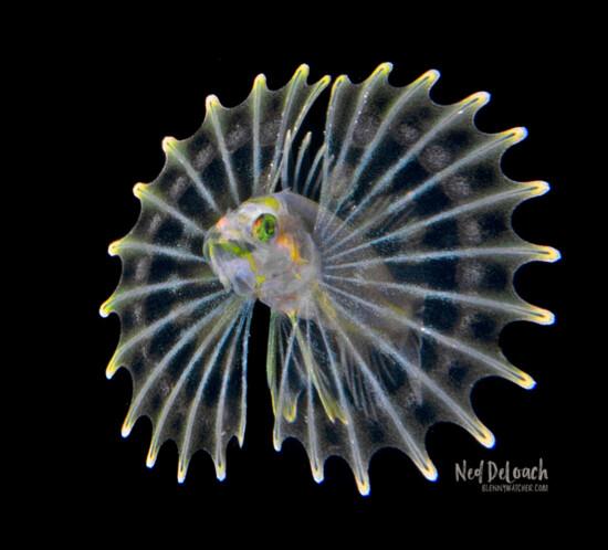 Lionfish, half inch, West Palm, Florida