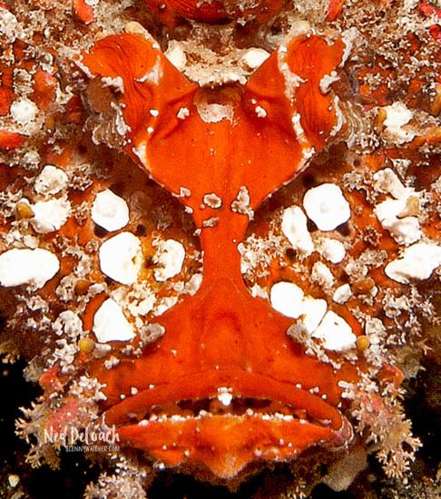 Spiny Devilfish, Lembeh Strait, Indonesia