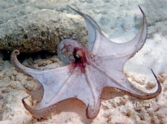 Common Octopus, 2 feet, Bonaire, Caribbean