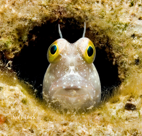 Blenny face, Milne Bay, Papua New Guinea
