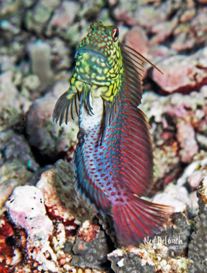 Red-streak Blenny male display jumping in his courtship colors, Triton Bay, Indonesia
