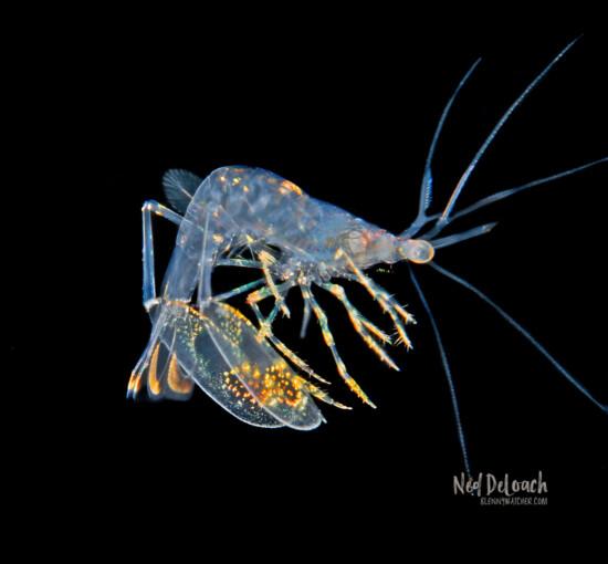 Lysmatidae shrimp larva, half inch, Bonaire, Caribbean