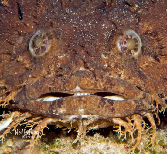 Bearded Toadfish, Utila, Caribbean
