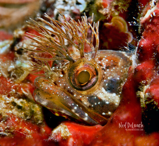 Koke-gimpo Blenny, Izu Peninsula, Japan