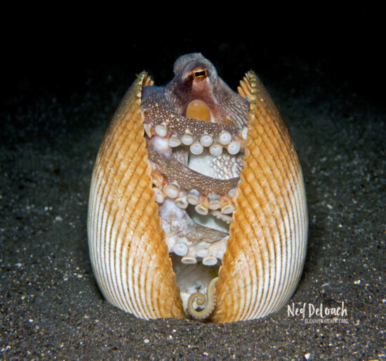 Coconut Octopus using bivalve as home, 10 inches Lembeh Strait, Indonesia