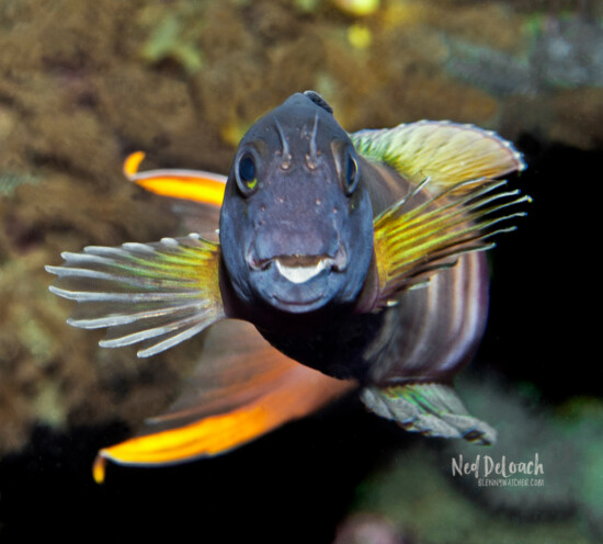 Midas Blenny male in his courtship colors, Pantar, Indonesia