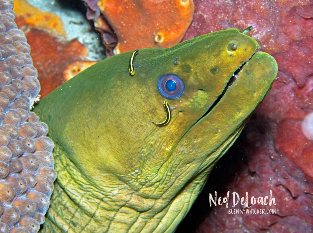 Noronha Cleaner Gobies at work.