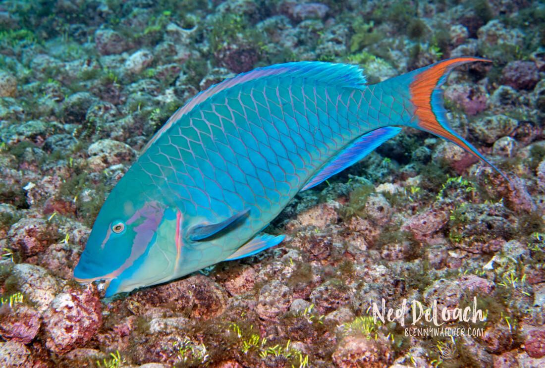 Reef Parrotfish, Sparisoma amplum