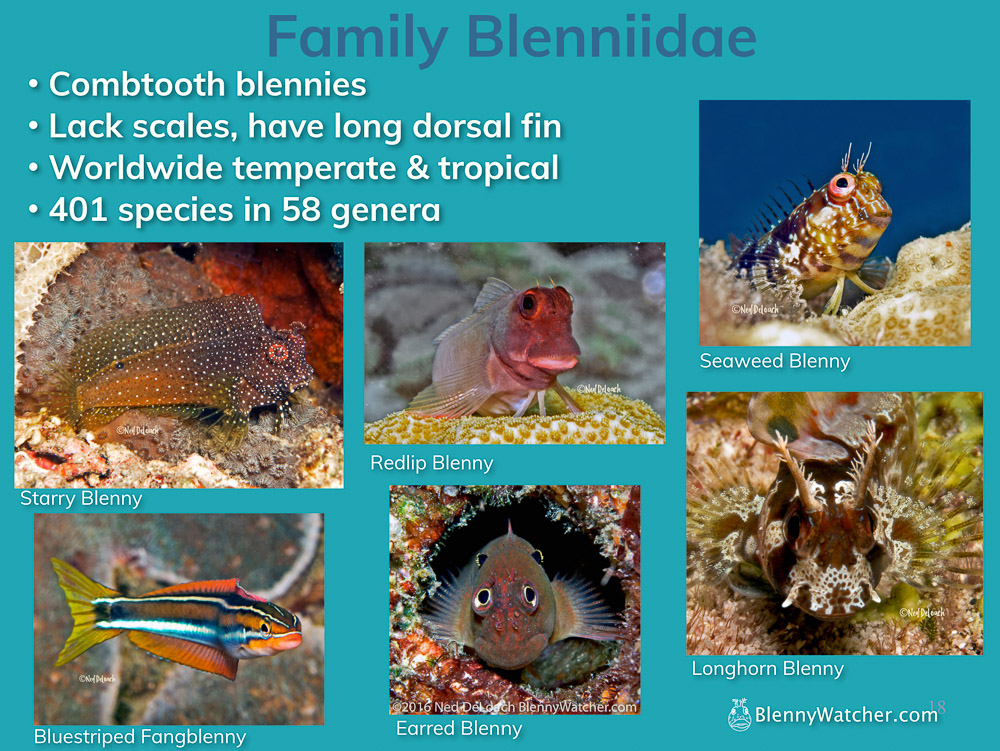 Family Blenniidae2