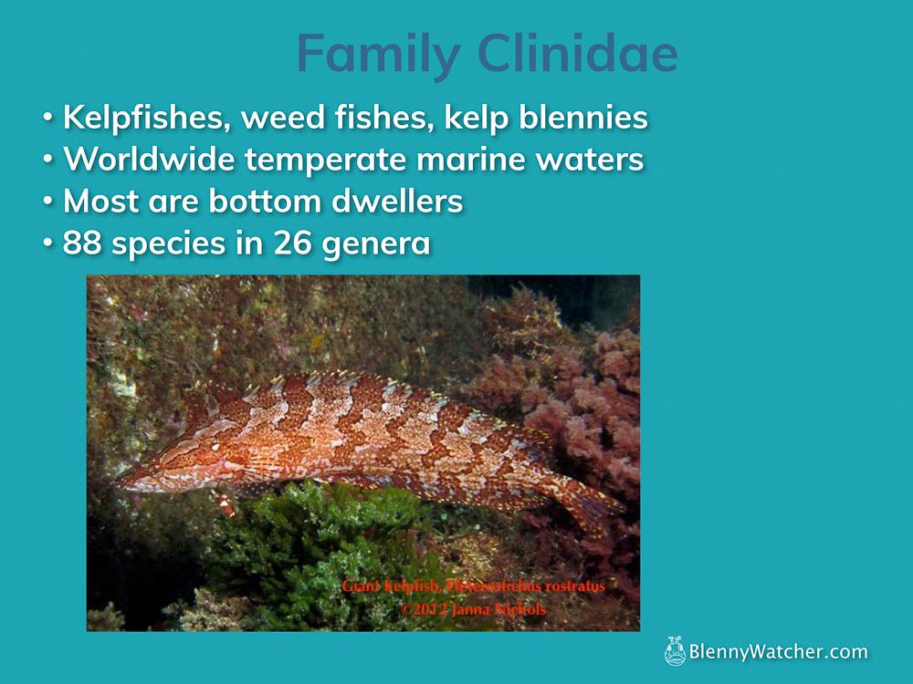 Family Cinidae