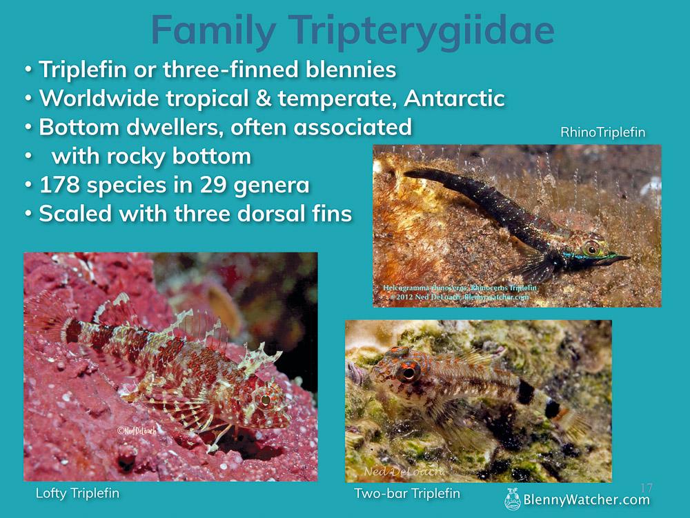 Family Trypterygiidae