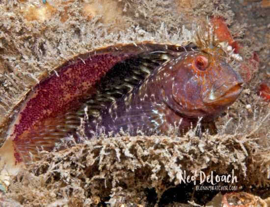 Male Seaweed Blenny guarding eggs.