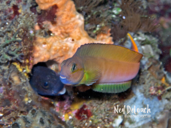 Midas Blenny luring a female
