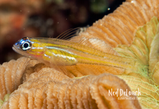A Peppermint Goby perched atop a coral.