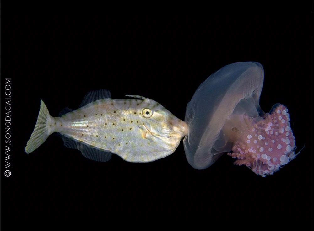 A young filefish holds onto a jelly
