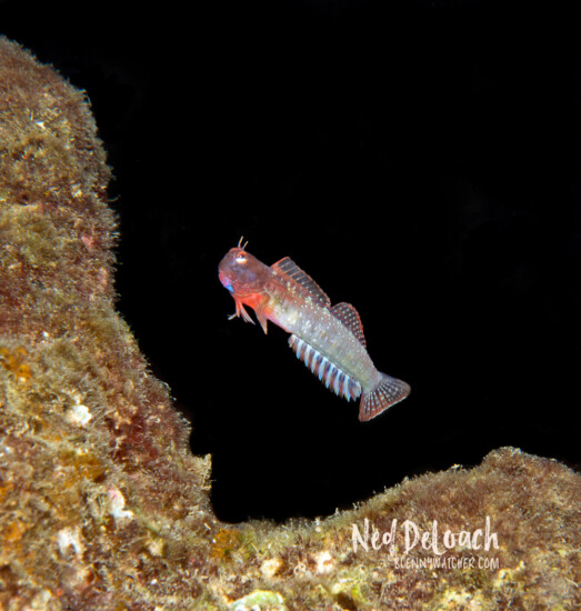 Throatspot Blenny leaping for love