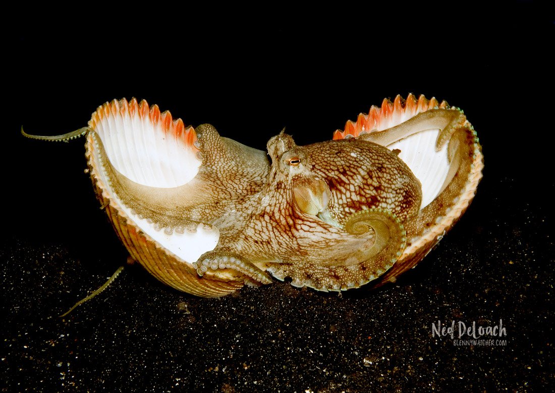 Coconut Octopus in bivalve shell.