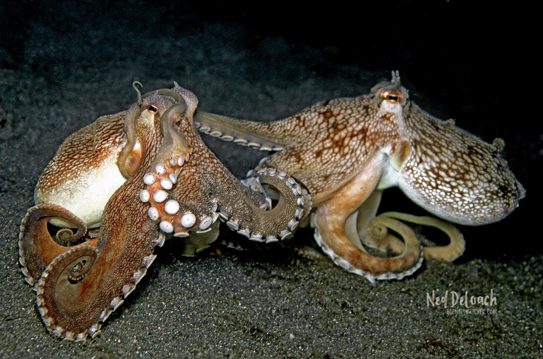 A pair of Coconut Octopuses