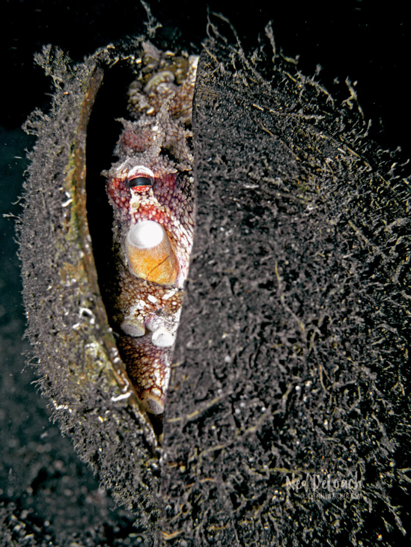 Coconut Octopus peering out of its coconut shell home