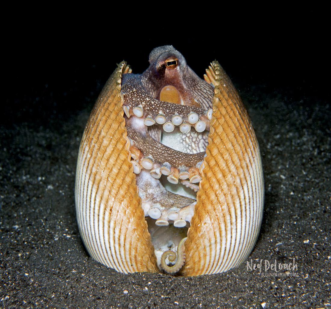 Coconut Octopus in bivalve shells