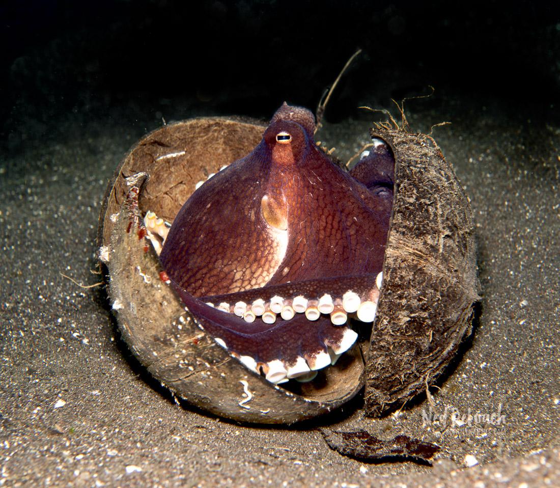 Coconut Octopus in coconut shells