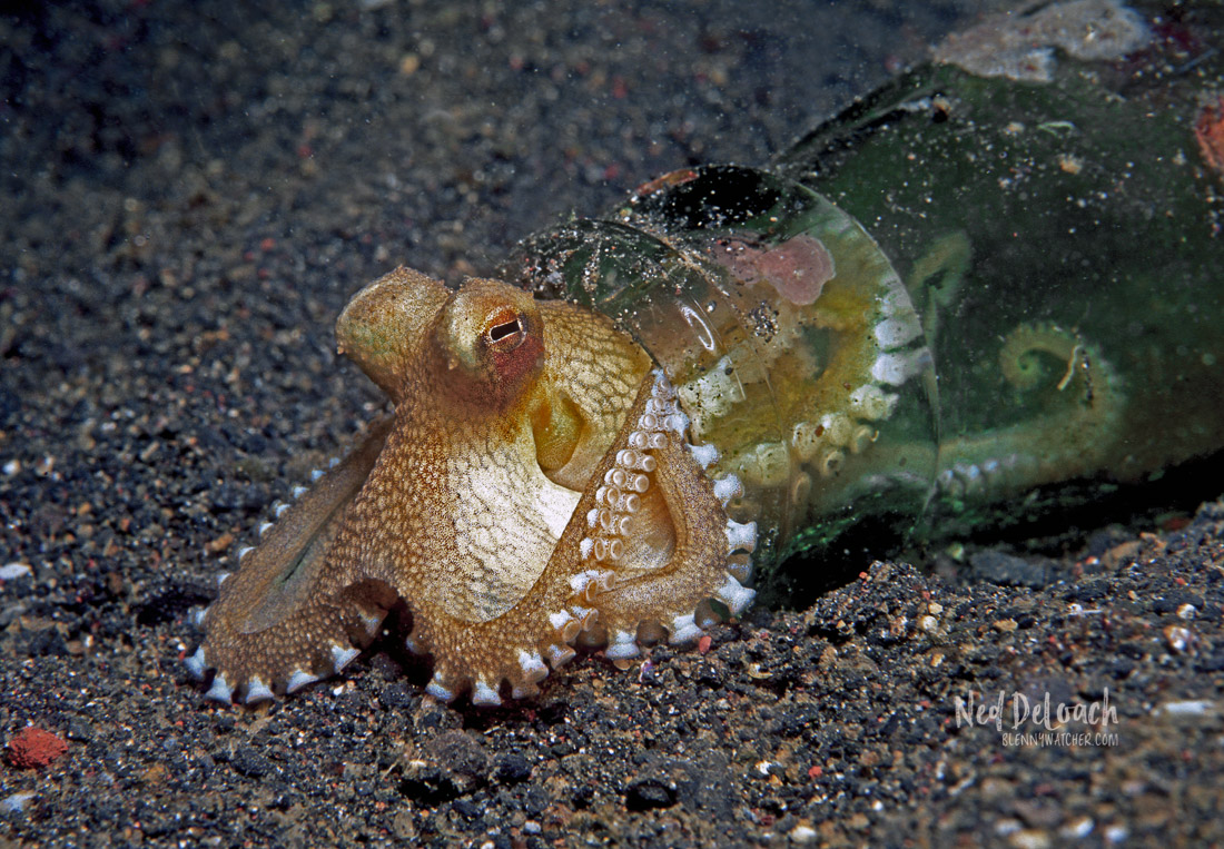 A tiny Coconut Octopus sheltering in an abandoned bottle.