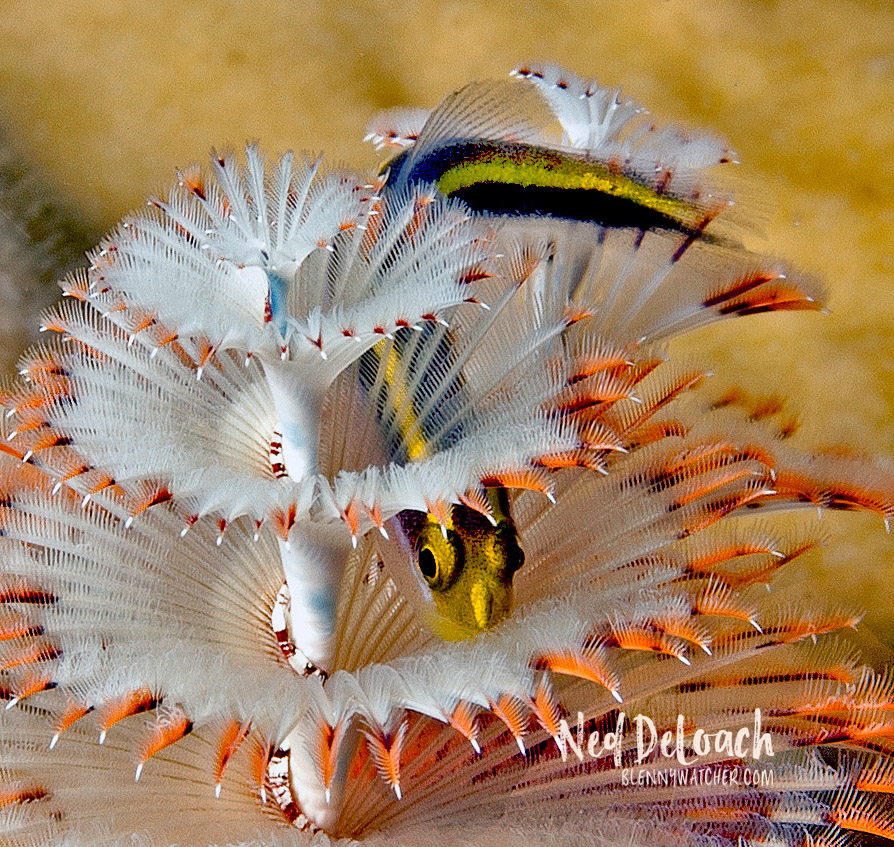 Yellownose Goby peeks out of a Christmas Tree Worm