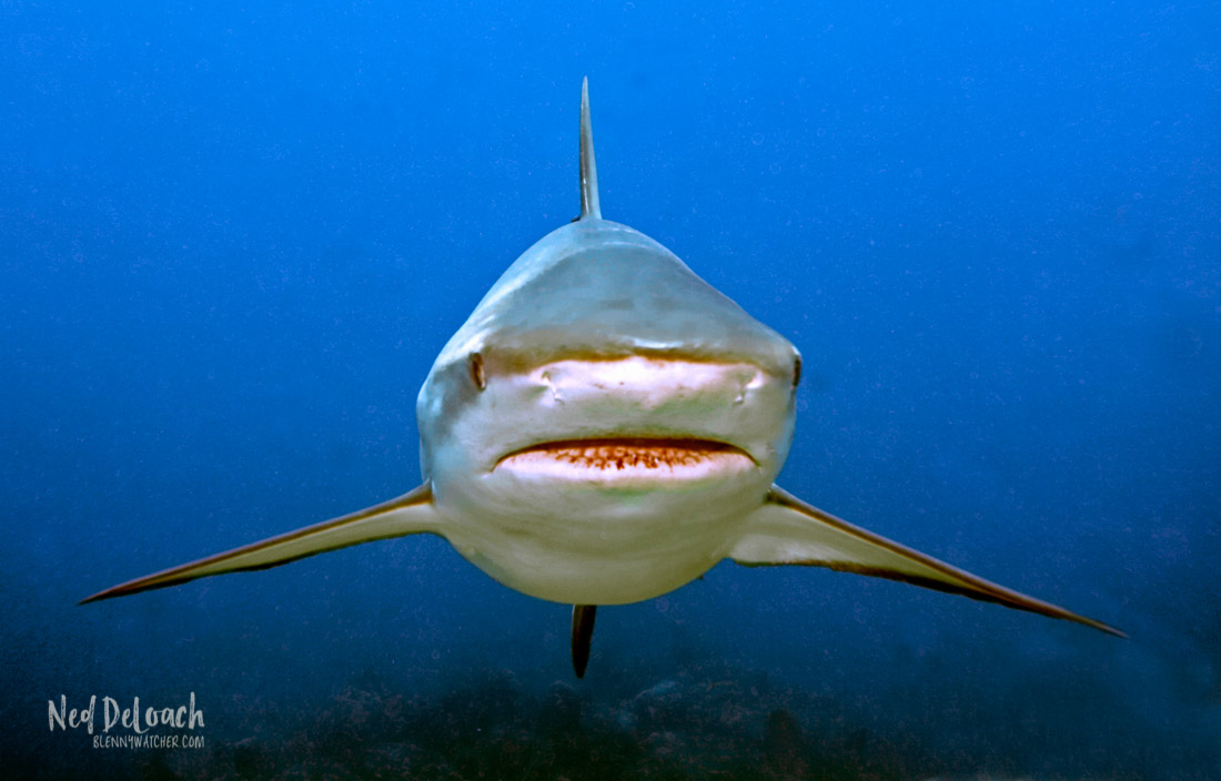 A Caribbean Reef Shark approaches during a shark feed.