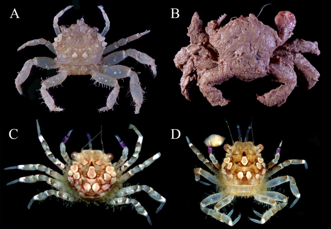 Live colouration of Philippine Polydectinae species from The Polydectinae Dana, 1851, of the Philippines, with description of a new genus for Lybia hatagumoana Sakai