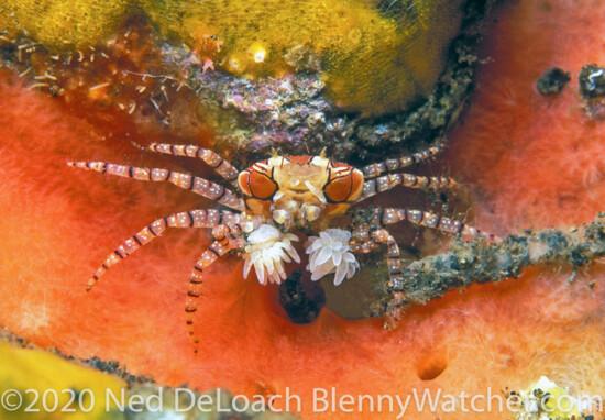 Mosaic Boxer Crab, Lybia tessellata Bali DeLoach BlennyWatcher